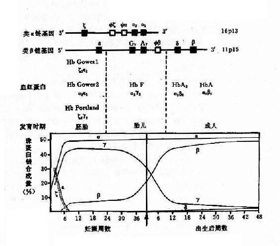 人类血红蛋白类型及基发育过程中的演变