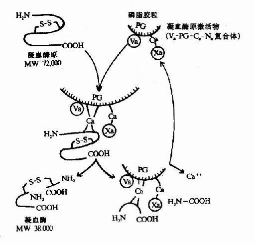 凝血酶的生成