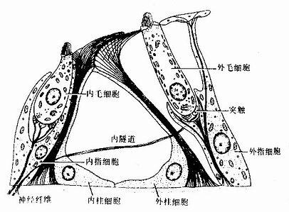 螺旋器毛细胞与支持细胞关系模式图