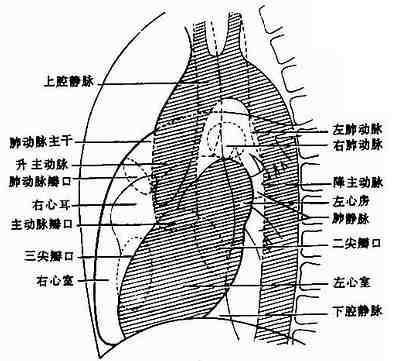 左側位正常心、大血管影像解剖示意圖