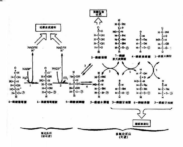 已糖磷酸支路反应