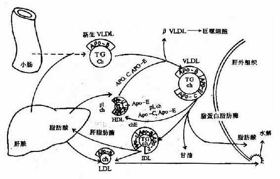 极低密度脂蛋白(VLDL)的代谢过程