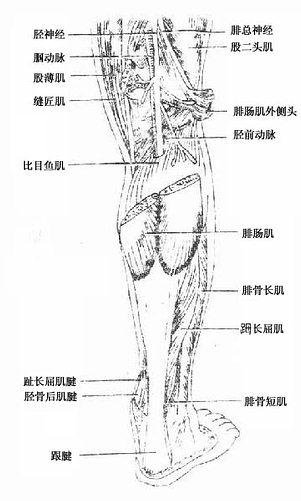 小腿后群肌