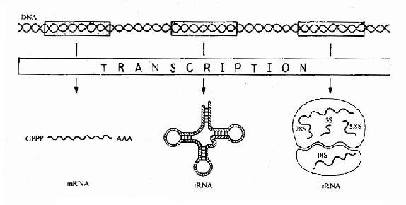 Expression of genetic information bytranscription.