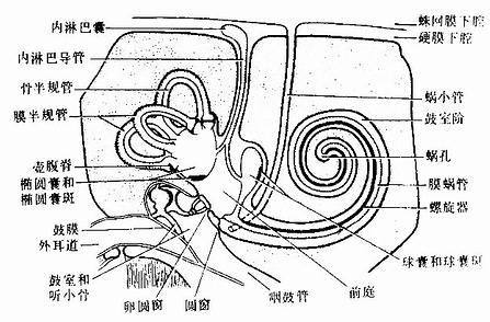 中耳与内耳模式图示骨迷路、膜迷路和感受器