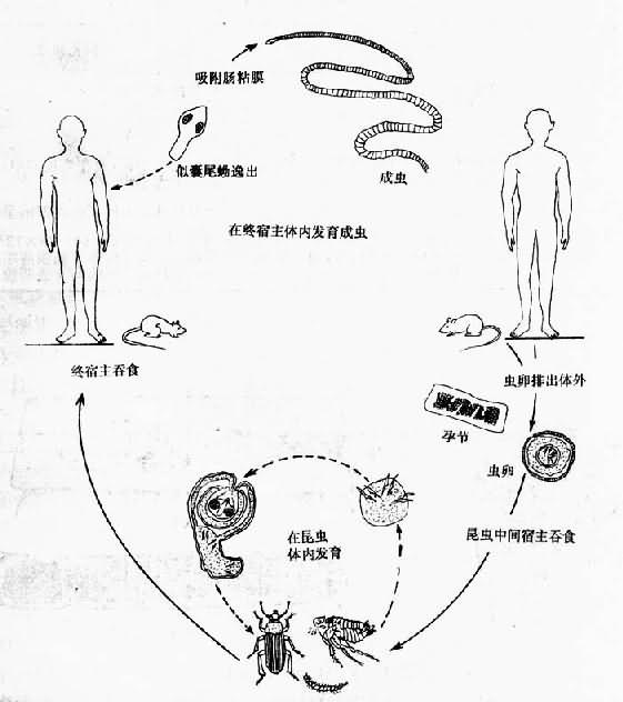 缩小膜壳绦虫生活史