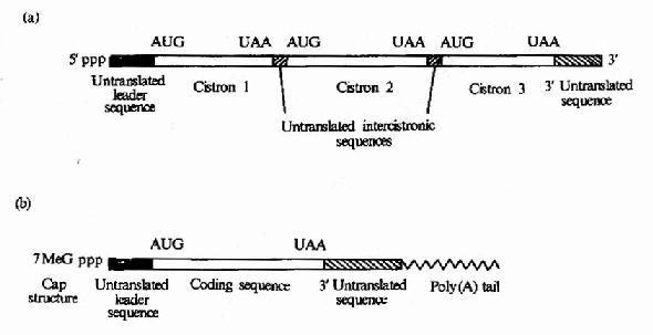 (a)原核生物mRNA)为多顺反子(b)真核生物mRNA为单顺反子