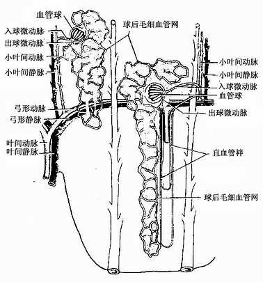 肾血液循环模式图