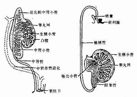 男性生殖管道的演变