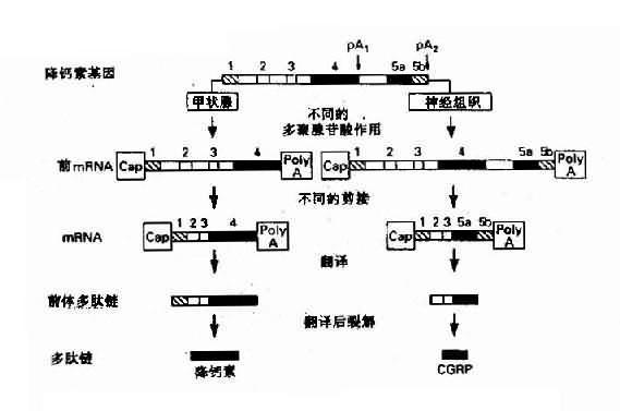 降钙基因在不同的细胞中产生不同的激素