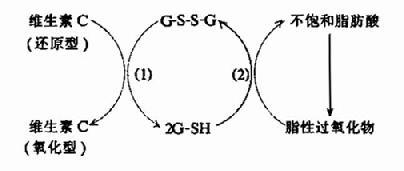 维生素C与谷胱甘肽拉化还原反应的关系