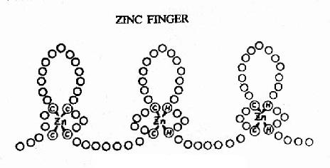蛋白质的锌指结构