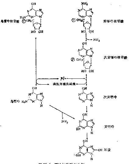 嘌呤核苷酸的分解