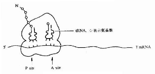 翻译过程中的核糖体图解