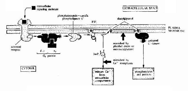 G蛋白偶联型受体-G蛋白-磷脂酶C信号转导途径示意图