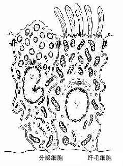 终末细支气管上皮细胞超微结构模式图