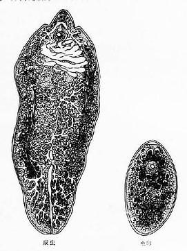 肝片形吸虫