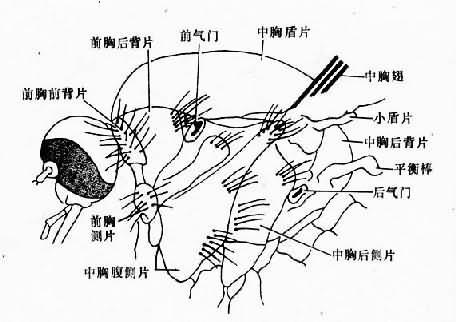 蚊的胸部(侧面)
