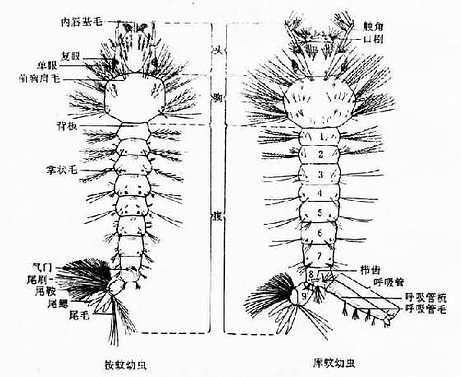蚊幼虫背面