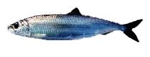大西洋鲱鱼(Clupea harengus)世界上最繁盛的鱼种