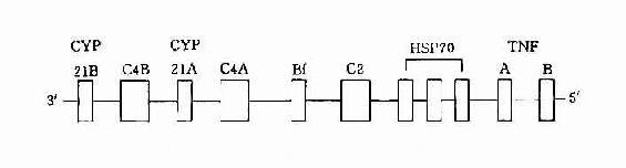 HLA-Ⅲ基因区结构示意图