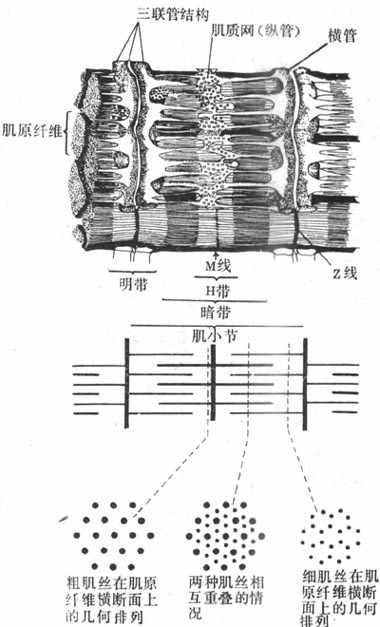 骨骼肌细胞的肌原纤维和肌管系统