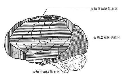 大脑前、中、后动脉供血区之间的C形边缘带示意图