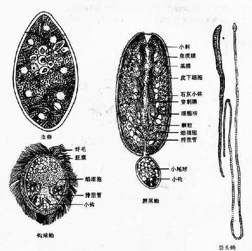 曼氏裂头绦虫虫卵和幼虫