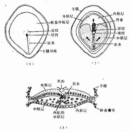第16天胚盘示原条、中胚层和脊索的形成