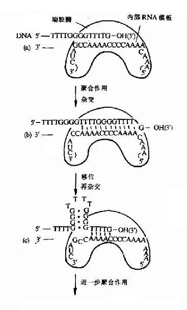 端粒酶催化端区TG链的合成