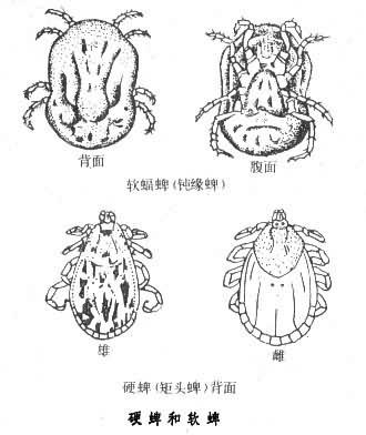 硬蜱和软蜱