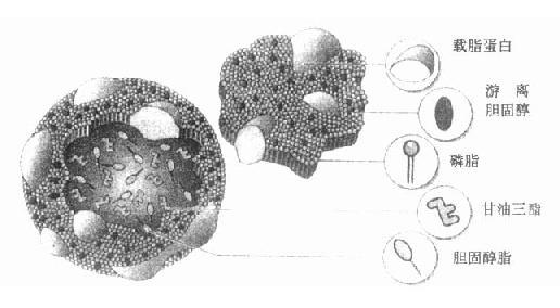 脂蛋白結構圖