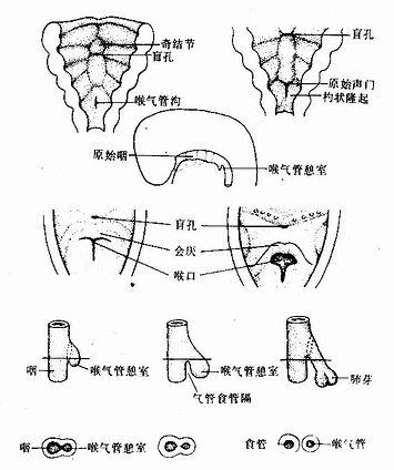 喉气管憩室的发生和演化