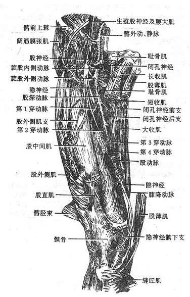 肢前部深层肌与血管、神经