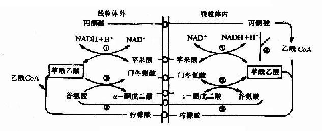 草酸乙酸逸出线粒体方式