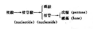 核酸的组成