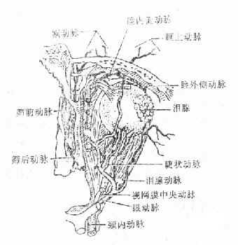 眼动脉及其分支