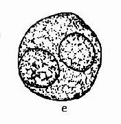 正常生精細胞