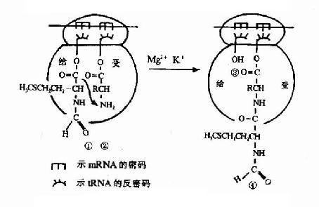 肽键的形成