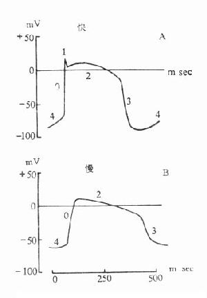 浦肯野纤维的快反应与慢反应电活动
