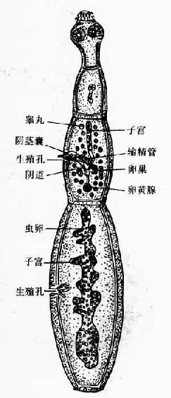 细粒棘球绦虫成虫(采Nobel)