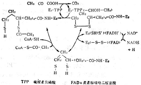 酮脱氢酶的作用