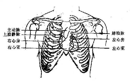 心脏各部在胸壁的投射