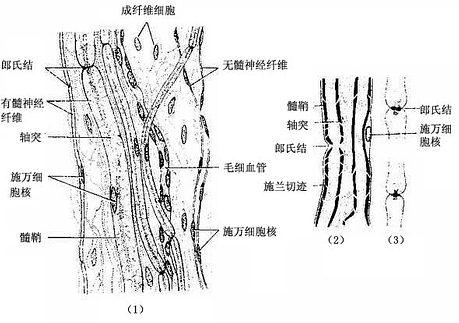 周围神经纤维