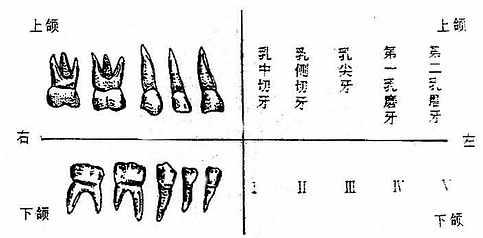 乳牙的形态、名称