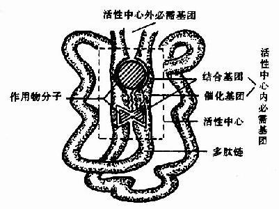 酶活性中心示意图