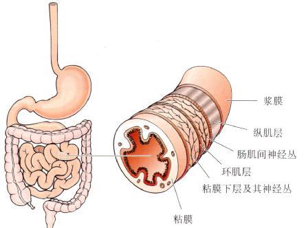 小肠壁结构