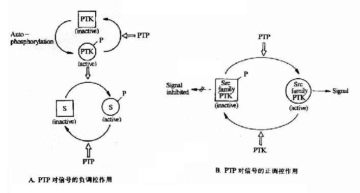 蛋白酪氨酸磷酸酶对蛋白酪氨酸激酶的调控作用