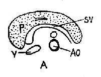 正常胰腺声象图