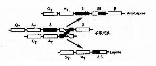 血紅蛋白融合基因形成機理